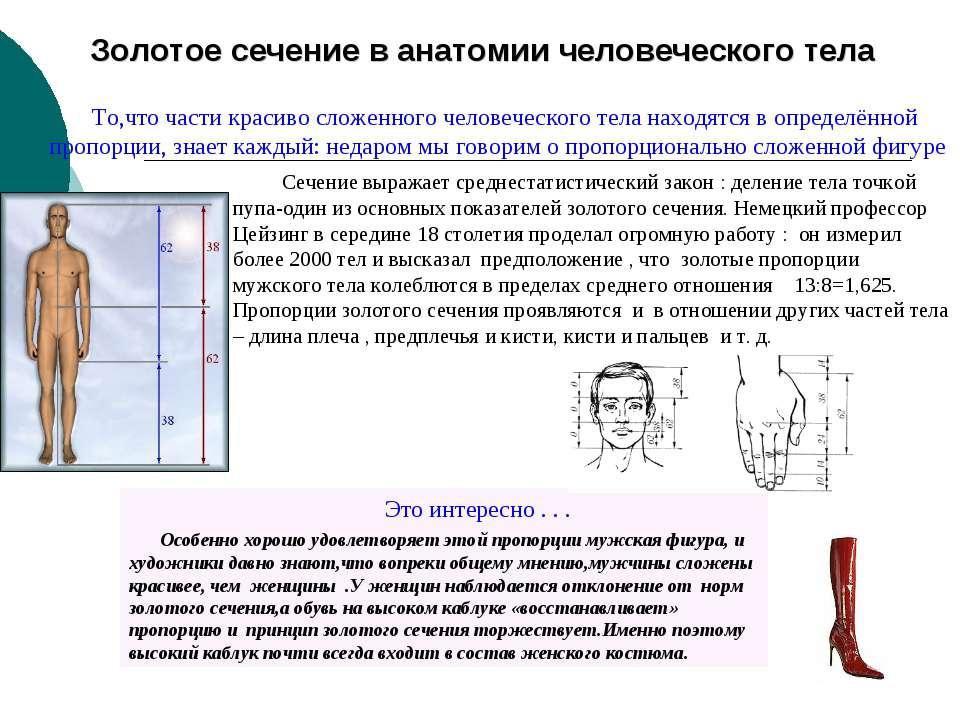 Золотое сечение в анатомии человеческого тела Сечение выражает среднестатисти...