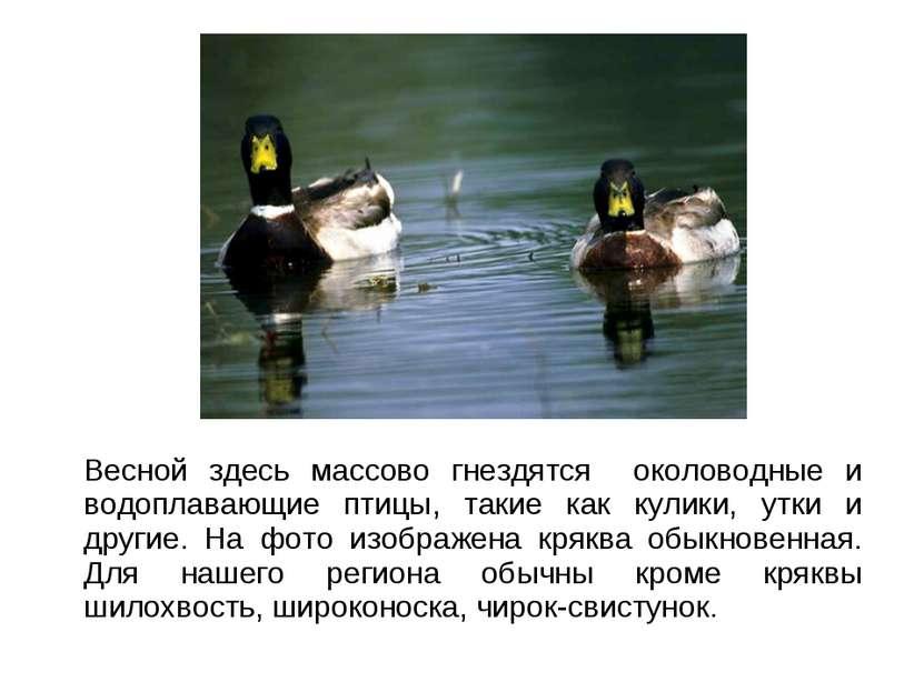 Весной здесь массово гнездятся околоводные и водоплавающие птицы, такие как к...
