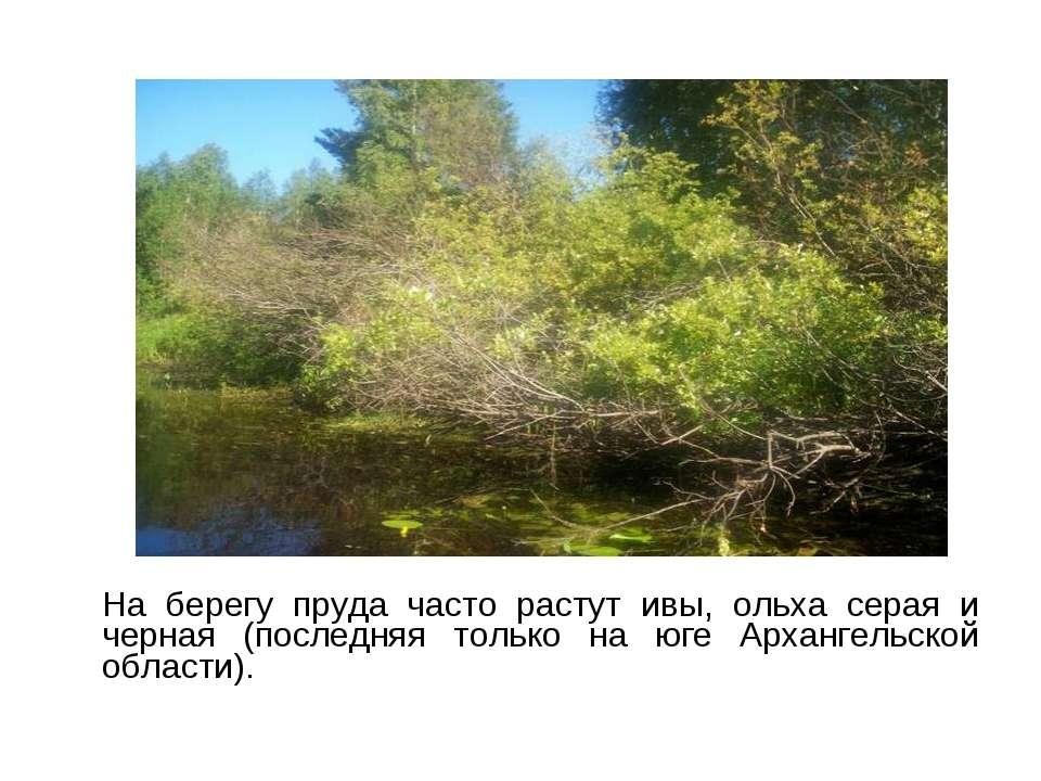 На берегу пруда часто растут ивы, ольха серая и черная (последняя только на ю...