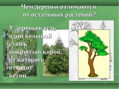Чем деревья отличаются от остальных растений? У деревьев есть один большой ст...