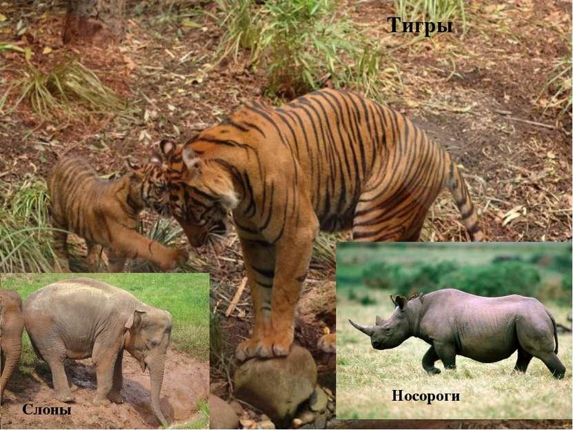 Тигры Слоны Носороги