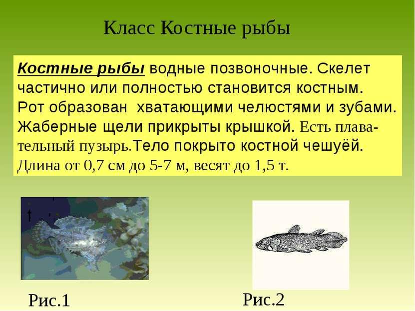 Класс Костные рыбы Костные рыбы водные позвоночные. Скелет частично или полно...