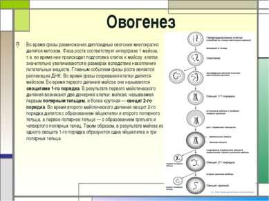 Овогенез Во время фазы размножения диплоидные овогонии многократно делятся ми...