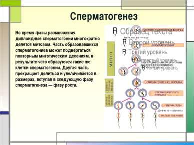 Cперматогенез Во время фазы размножения диплоидные сперматогонии многократно ...