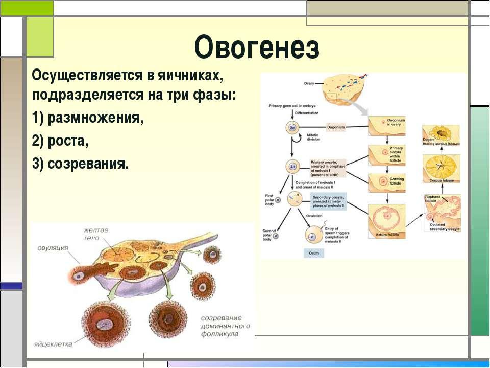Овогенез Осуществляется в яичниках, подразделяется на три фазы: 1) размножени...
