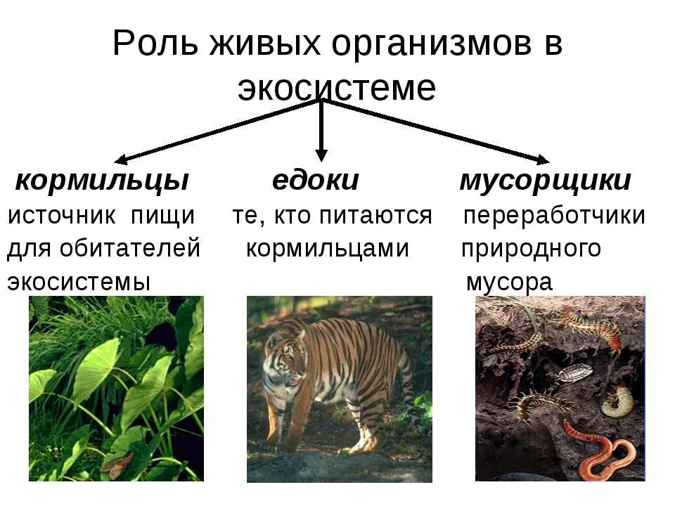 Роль живых организмов в экосистеме кормильцы едоки мусорщики источник пищи те...