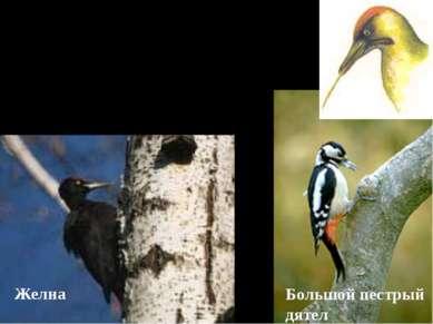 В. Питаются насекомыми и личинками, живущими под корой. Для этого используют ...