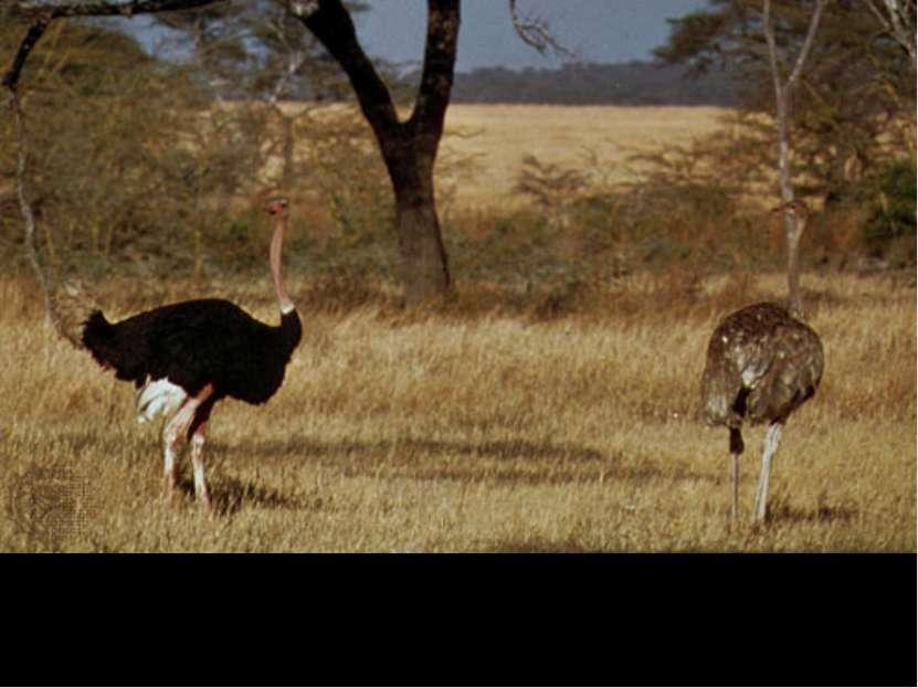 Африканский страус (самец и самка)