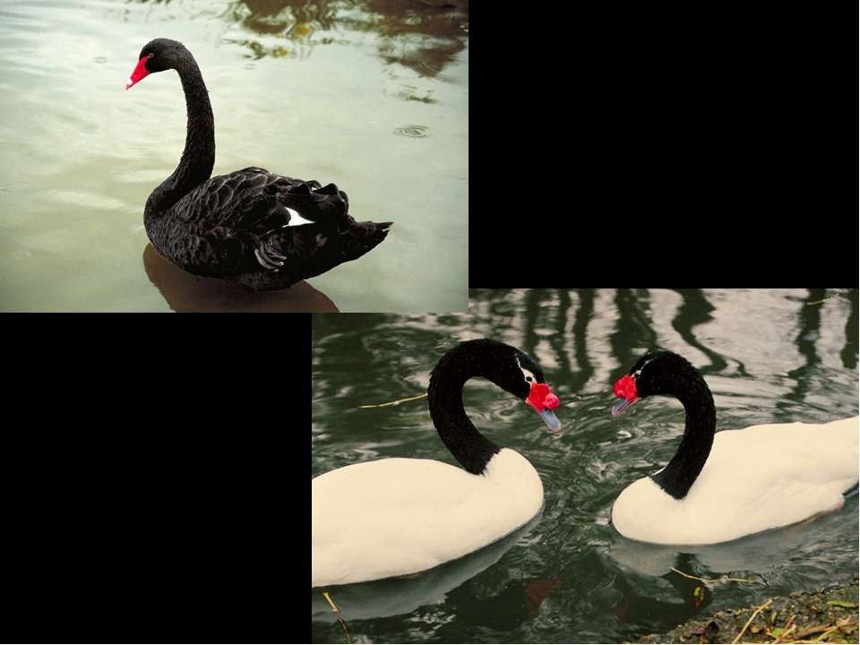 Лебедь черный Лебедь черношейный
