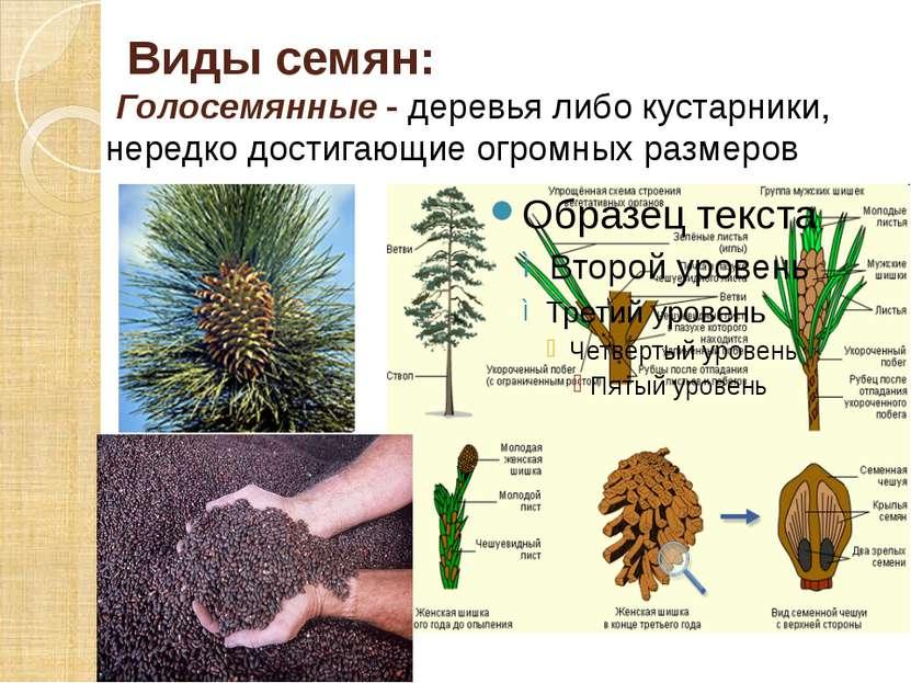 Виды семян: Голосемянные - деревья либо кустарники, нередко достигающие огром...