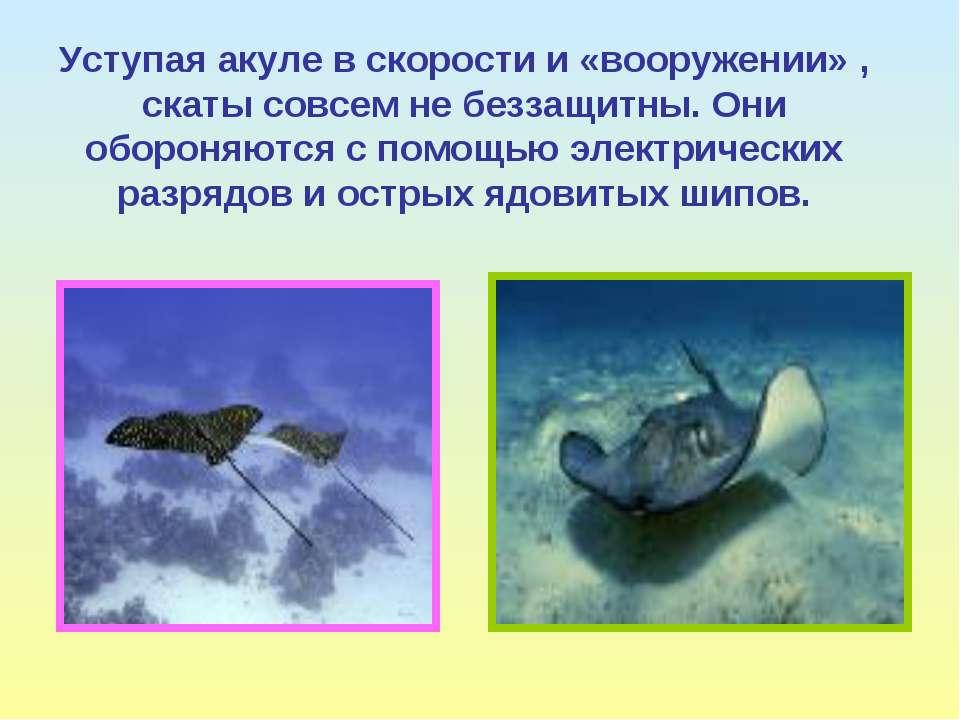 Уступая акуле в скорости и «вооружении» , скаты совсем не беззащитны. Они обо...
