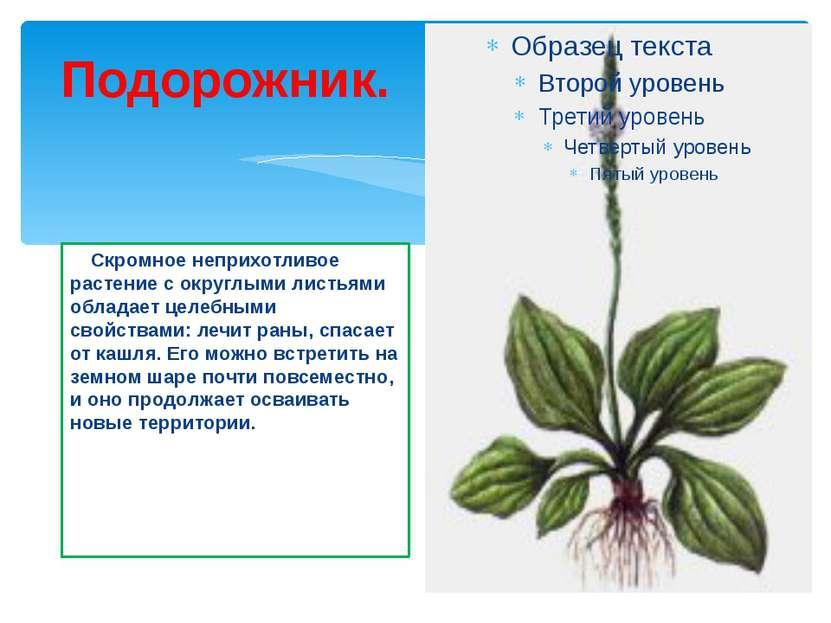 Подорожник. Скромное неприхотливое растение с округлыми листьями обладает цел...