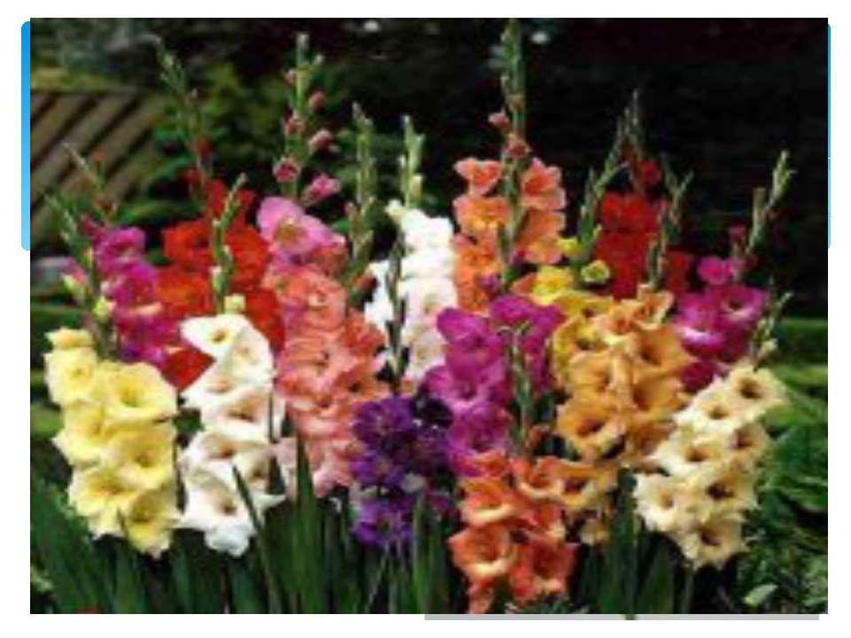 Гладиолус. Цветет во второй половине лета. Высокие, с крупными цветами разноо...