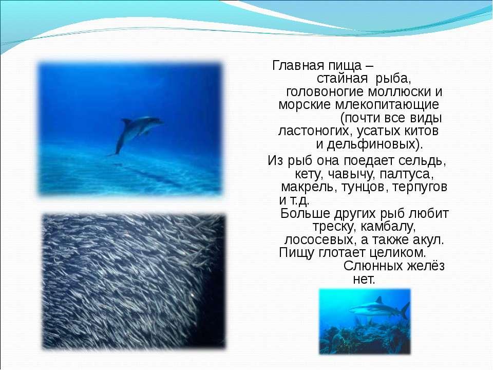 Главная пища – стайная рыба, головоногие моллюски и морские млекопитающие (по...