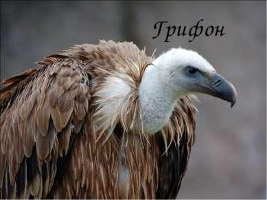 Грифон