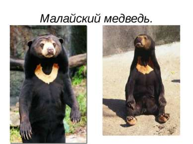 Малайский медведь.
