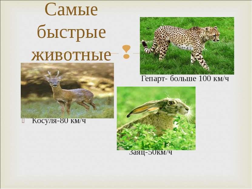Гепарт- больше 100 км/ч Косуля-80 км/ч Заяц-50км/ч Самые быстрые животные
