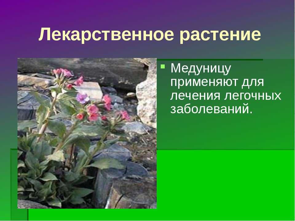 Лекарственное растение Медуницу применяют для лечения легочных заболеваний.