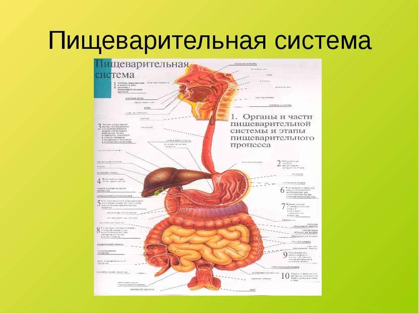 Пищеварительная система