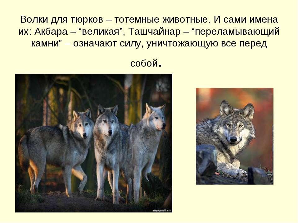 """Волки для тюрков – тотемные животные. И сами имена их: Акбара – """"великая"""", Та..."""
