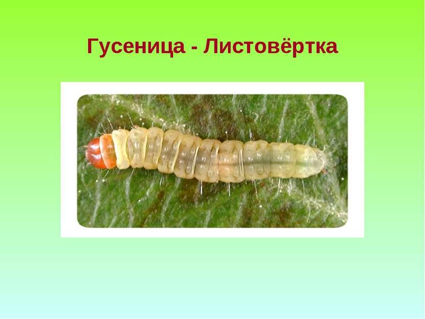 Гусеница - Листовёртка