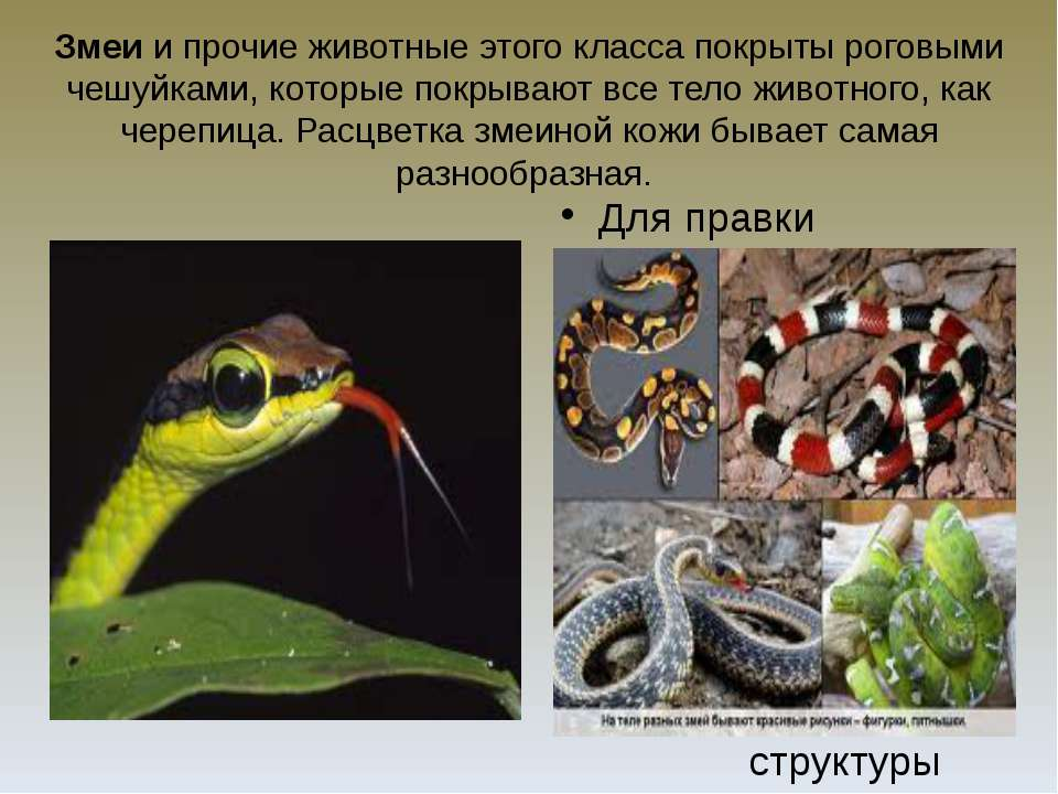 Змеи и прочие животные этого класса покрыты роговыми чешуйками, которые покры...