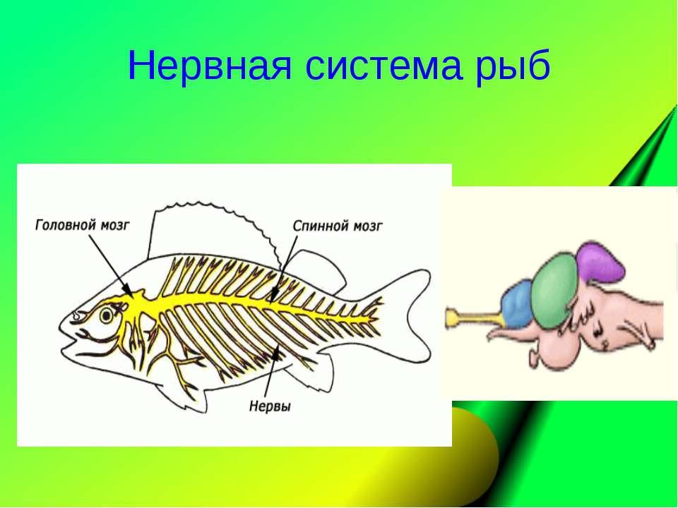 Нервная система рыб