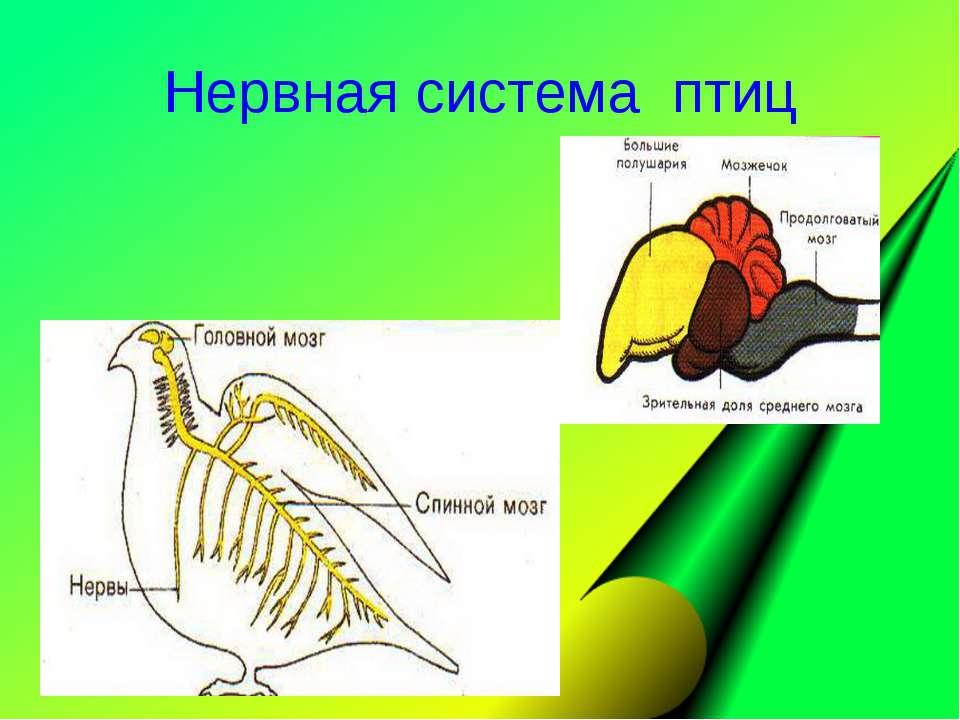 Нервная система птиц