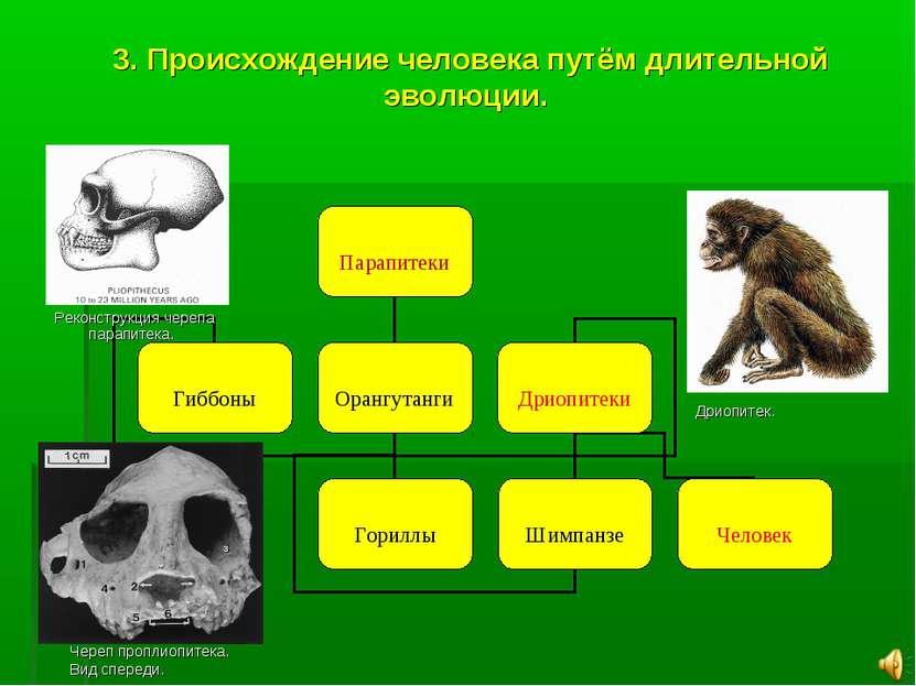 3. Происхождение человека путём длительной эволюции. Реконструкция черепа пар...