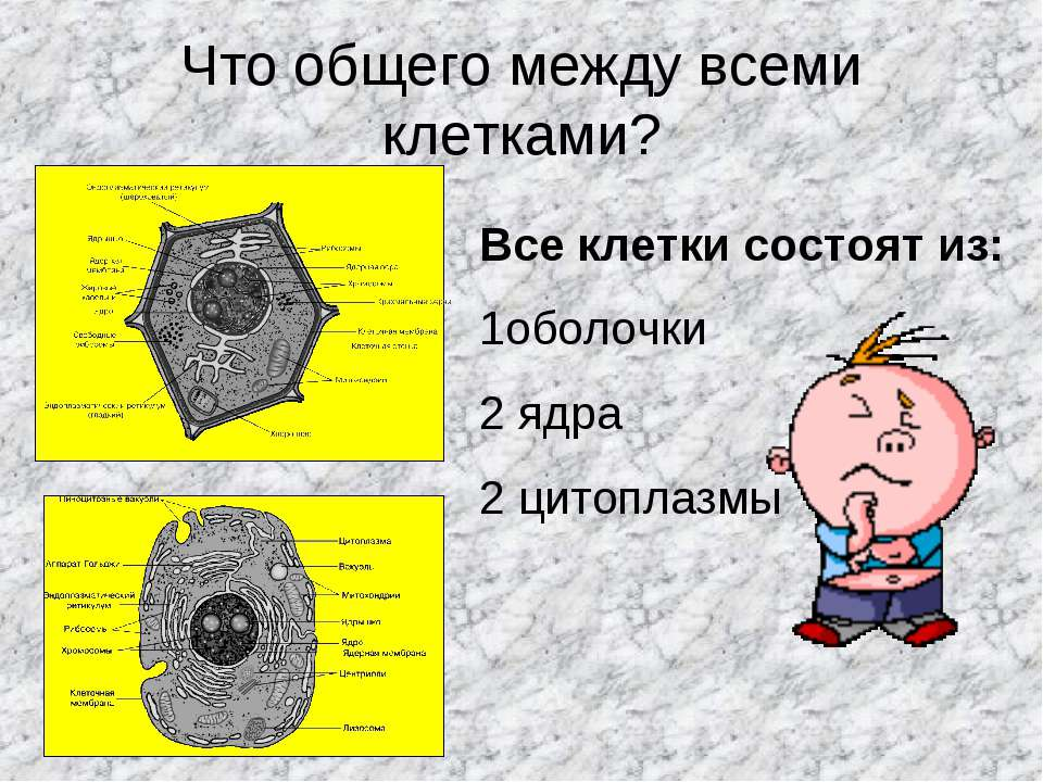 Что общего между всеми клетками? Все клетки состоят из: 1оболочки 2 ядра 2 ци...