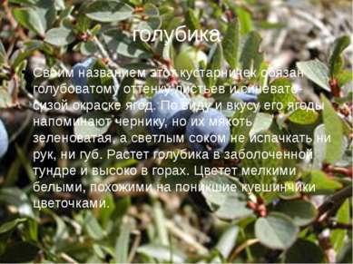 голубика Своим названием этот кустарничек обязан голубоватому оттенку листьев...
