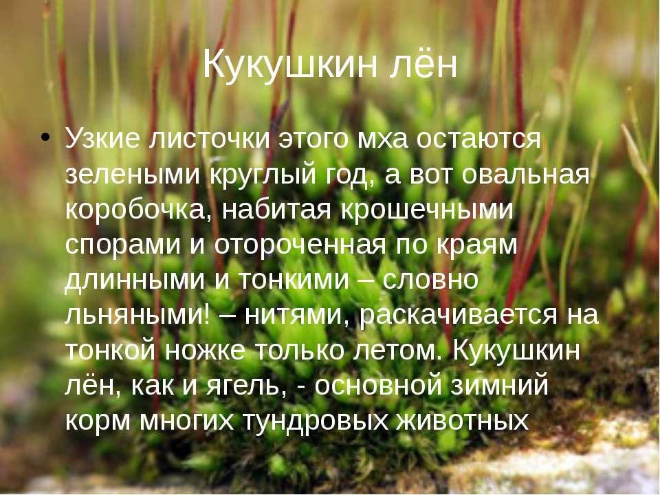 Кукушкин лён Узкие листочки этого мха остаются зелеными круглый год, а вот ов...