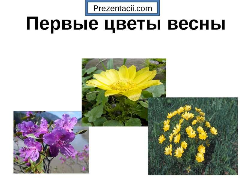 Первые цветы весны Prezentacii.com