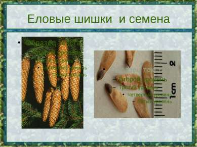 Еловые шишки и семена