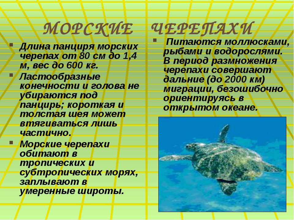МОРСКИЕ ЧЕРЕПАХИ Длина панциря морских черепах от 80 см до 1,4 м, вес до 600 ...