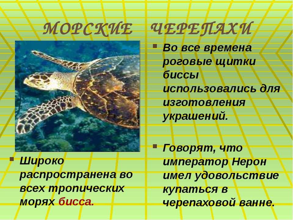 МОРСКИЕ ЧЕРЕПАХИ Широко распространена во всех тропических морях бисса. Во вс...