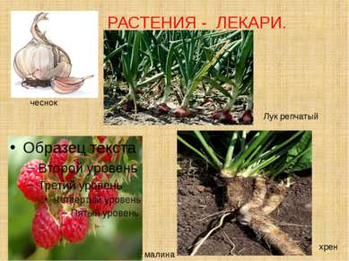 РАСТЕНИЯ - ЛЕКАРИ. чеснок малина хрен Лук репчатый