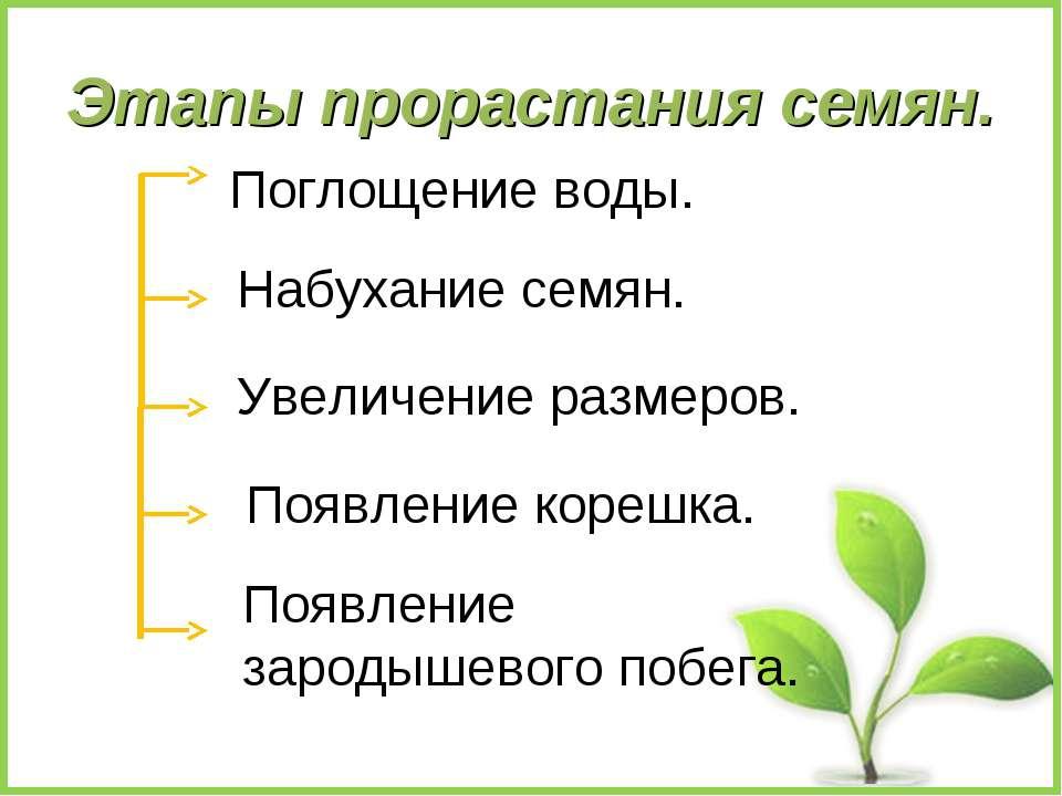 Этапы прорастания семян. Поглощение воды. Набухание семян. Увеличение размеро...