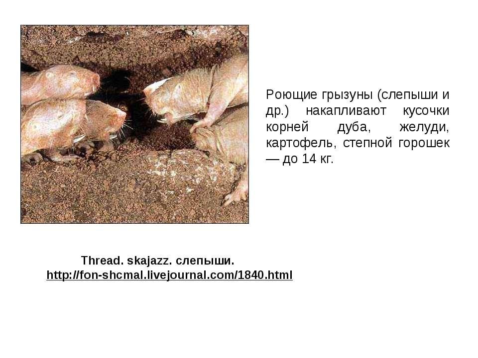 Роющие грызуны (слепыши и др.) накапливают кусочки корней дуба, желуди, карто...