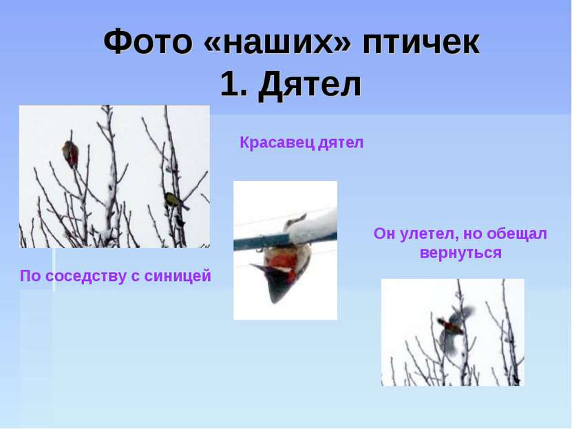 Фото «наших» птичек 1. Дятел Красавец дятел По соседству с синицей Он улетел,...