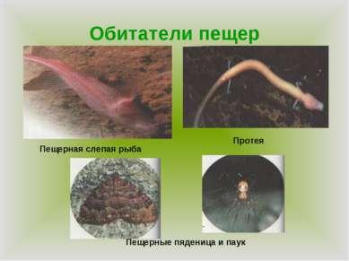 Обитатели пещер Пещерная слепая рыба Протея Пещерные пяденица и паук