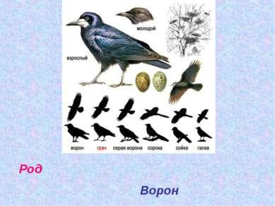 Род Ворон