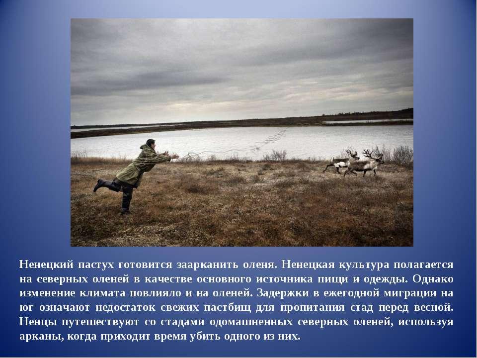 Ненецкий пастух готовится заарканить оленя. Ненецкая культура полагается на с...