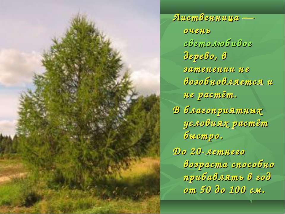 Лиственница— очень светолюбивое дерево, в затенении не возобновляется и не р...