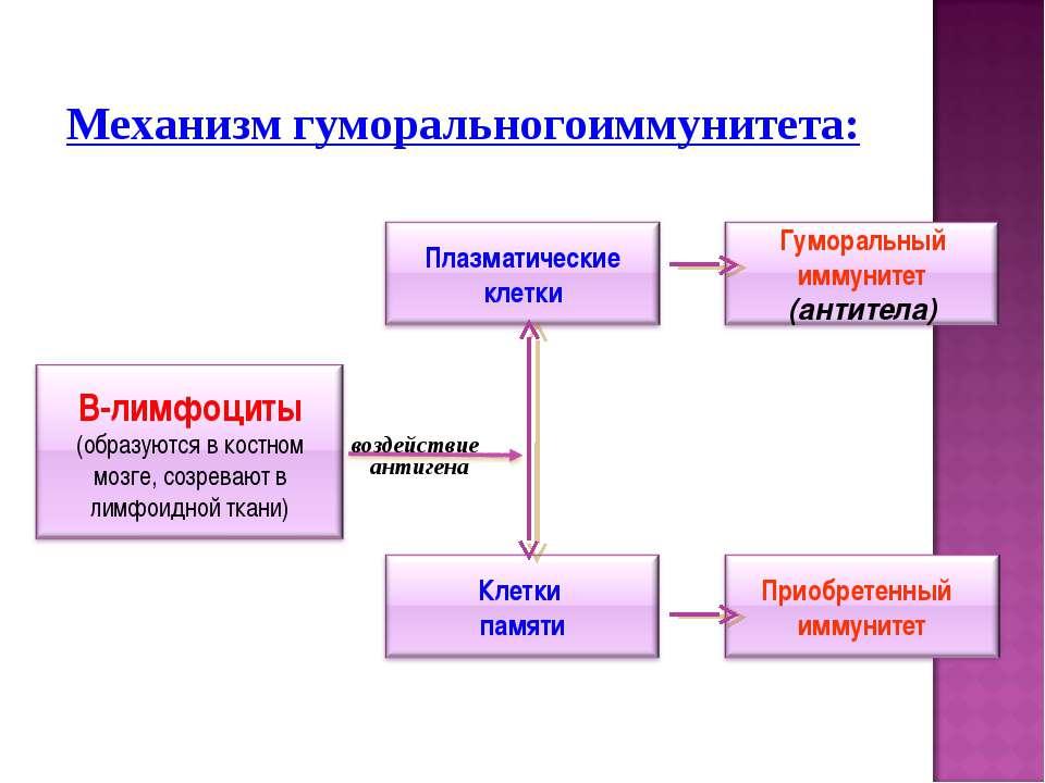 Механизм гуморальногоиммунитета:
