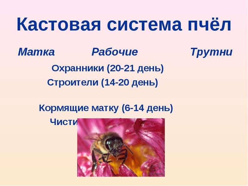 Кастовая система пчёл Матка Рабочие Трутни Охранники (20-21 день) Строители (...