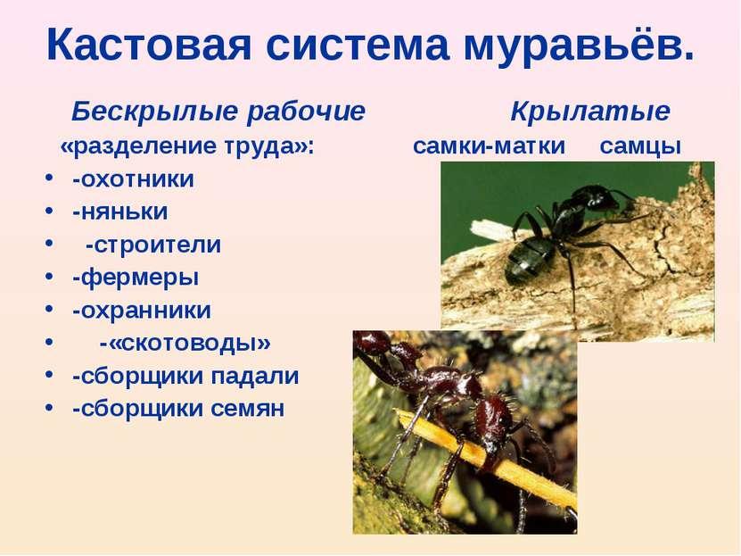 Кастовая система муравьёв. Бескрылые рабочие Крылатые «разделение труда»: сам...