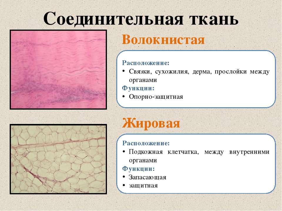 Соединительная ткань Волокнистая Жировая Расположение: Связки, сухожилия, дер...