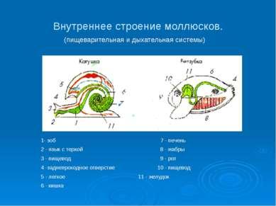 Внутреннее строение моллюсков. (пищеварительная и дыхательная системы) 1- зоб...