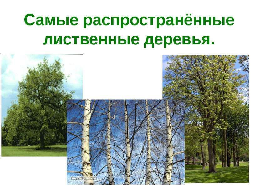 Самые распространённые лиственные деревья.